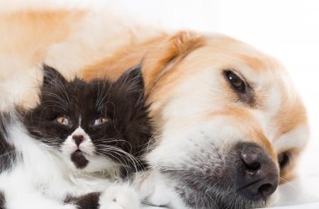 Golden Retriever con un gato persa durmiendo juntos
