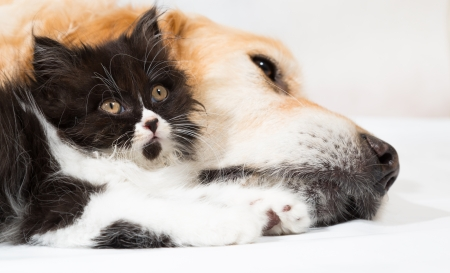 catling: Golden Retriever with a Persian cat sleeping together