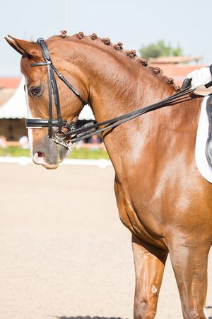 Beautiful Spanish horse color in outdoor exhibition photo