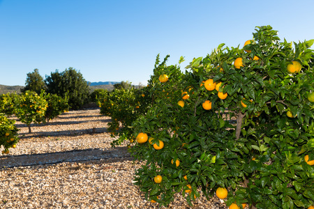 Trees with orange typical in the province of Valencia, Spain photo