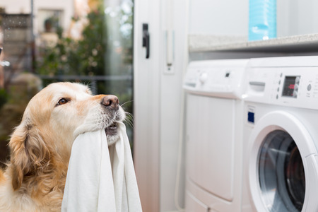Golden Retriever dog doing laundry at home