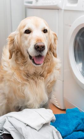 dutiful: Golden Retriever dog doing laundry at home