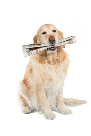 Beautiful Golden Retriever dog with a newspaper in his mouth 스톡 콘텐츠