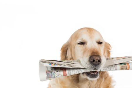 dutiful: Beautiful Golden Retriever dog with a newspaper in his mouth Stock Photo