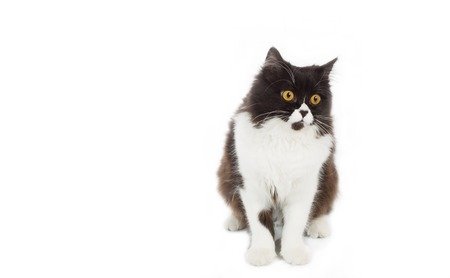 catling: Beautiful Persian cat on a white background Stock Photo