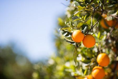 citricos: Los �rboles con naranja t�pico de la provincia de Valencia, Espa�a Foto de archivo