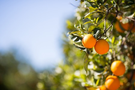 valencia orange: Trees with orange typical in the province of Valencia, Spain