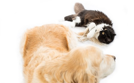 catling: Persian cat playing with a golden retriever dog Stock Photo
