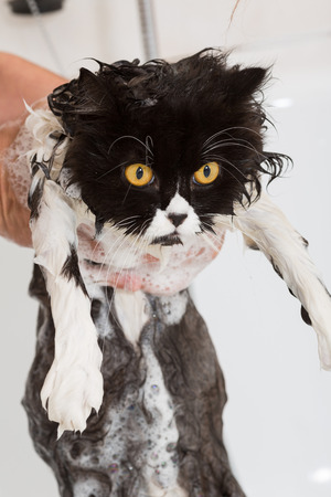 catlike: Bath or shower to a Persian breed cat
