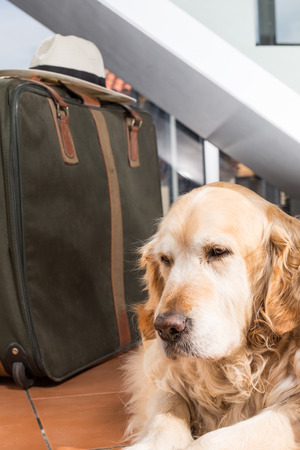 piece of luggage: Golden Retriever with suitcase