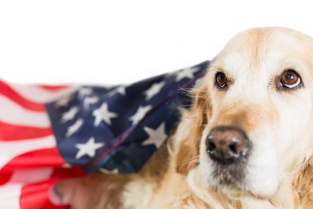 Golden Retriever Dog with his American flag photo