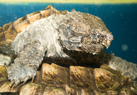 snapping turtle: Alligator turtle underwater waiting for their prey