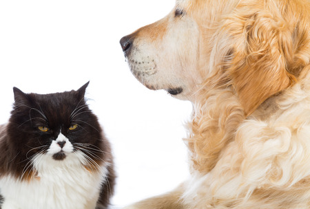 catling: Persian cat with golden retriever dog in studio with white background Stock Photo