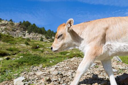 Brown cow through the Catalan Pyrenees, Spain photo