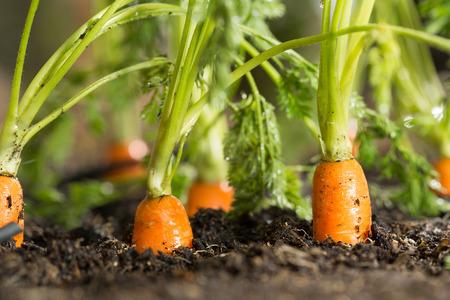 zanahorias: Zanahorias frescas en su Bush a punto de ser cosechado Foto de archivo