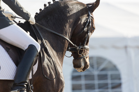dapple horse: Closeups of a competition of dressage horses in Spain