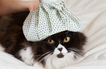 catling: Persian cat flu and a hot water bottle on head Stock Photo