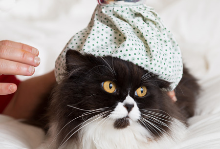 moggy: Persian cat flu and a hot water bottle on head Stock Photo