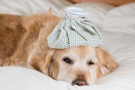 grippe: Golden Retriever Dog cold convalescing in bed