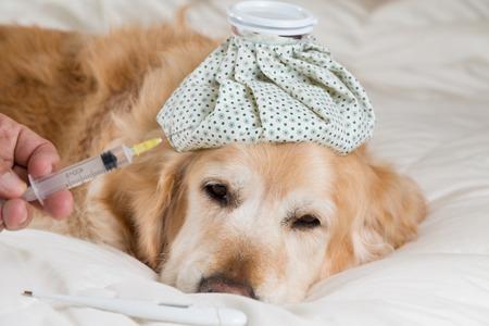 convalescing: Golden Retriever Dog cold convalescing in bed