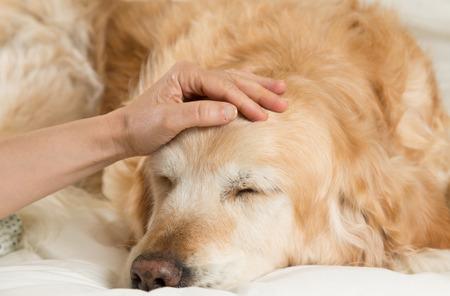gripa: Perro del golden retriever convaleciente frío en la cama