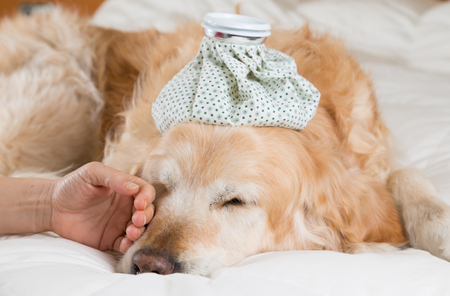 animals and pets: Golden Retriever Dog cold convalescing in bed