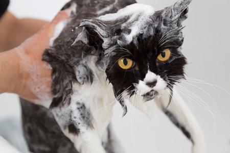 ratty: Vasca o doccia per un gatto di razza persiano Archivio Fotografico