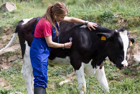 veterinario: Veterinaria en una granja de realizar un examen físico en una vaca