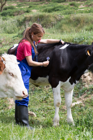 sickly: Veterinary on a farm performing a physical examination in a cow