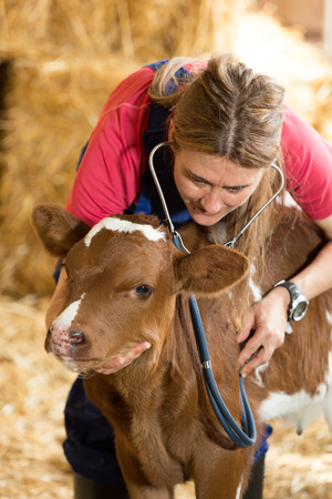calf: Veterinary on a farm performing a physical examination in a cow