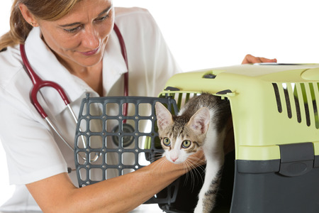 food inspection: Veterinary taking a kitten from its transport box in the clinic