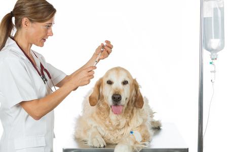 female catheter: Veterinary placing a catheter via a Golden Retriever in the clinic Stock Photo