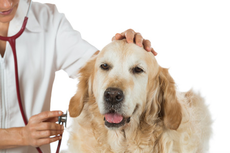 perro asustado: Veterinaria escuchando a un perro perdiguero de oro en su cl�nica