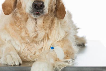 perro asustado: Veterinaria colocando un catéter a través de un golden retriever en la clínica