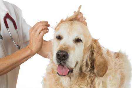 animal ear: Veterinarian performing a cleaning ears of a Golden Retriever in the clinic Stock Photo