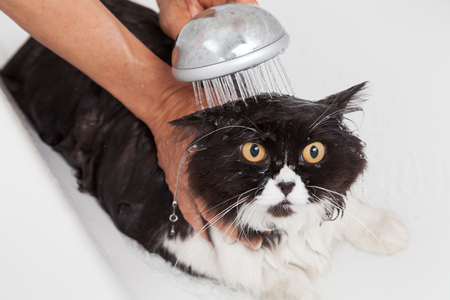 soaping: Bath or shower to a Persian breed cat