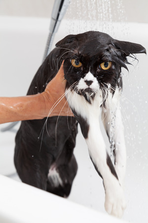moggy: Bath or shower to a Persian breed cat