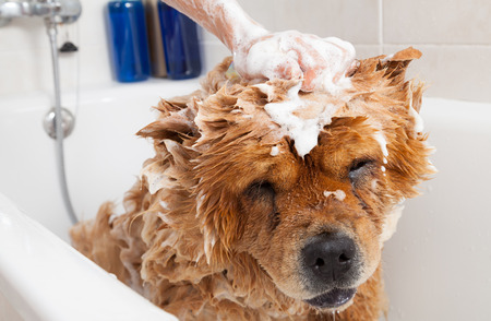 bath time: Bubble Bath a lovely dog chow chow