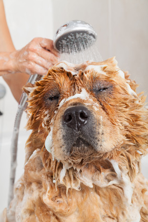 grooming: Bubble Bath a lovely dog chow chow