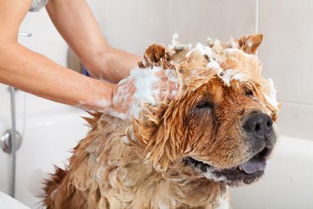 angry dog: Baño de burbujas un perro encantador perro chino Foto de archivo