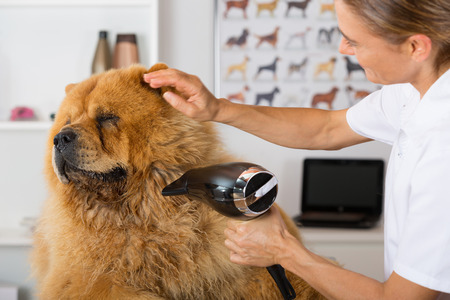 grooming: Canine hairdresser in a beauty clinic with Chow Chow