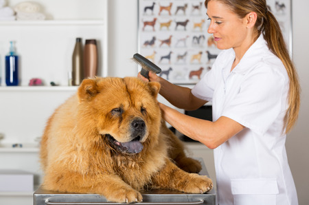 chow: Canine hairdresser in a beauty clinic with Chow Chow
