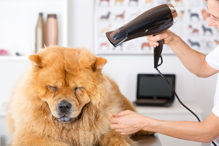 Canine hairdresser in a beauty clinic with Chow Chow