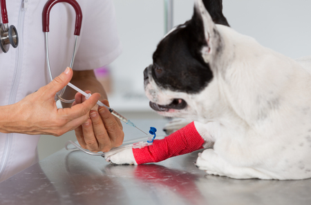 female catheter: Veterinary placing a catheter via a French bulldog in the clinic Stock Photo