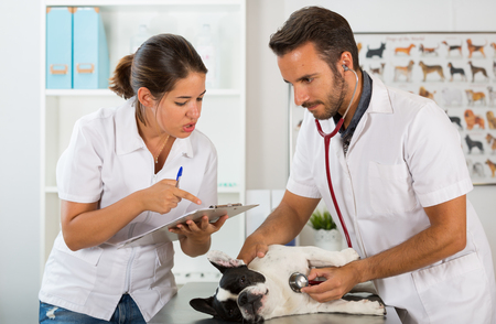 female catheter: Couple of veterinary conducting a review of a French bulldog