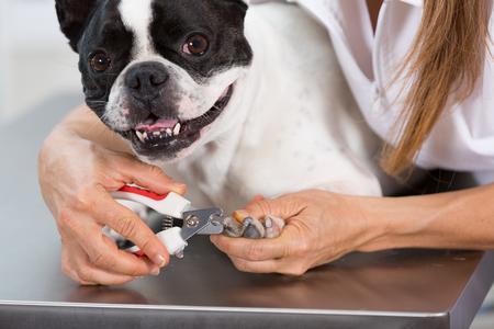 perros jugando: Bulldog franc�s en la peluquer�a canina cortar las u�as