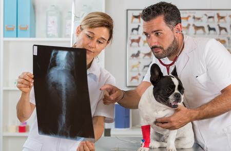 perro asustado: Pareja de veterinaria de revisar los resultados de una radiograf�a de un bulldog franc�s