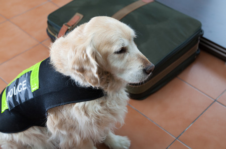 Golden Retriever dog next to a suitcase with drugs