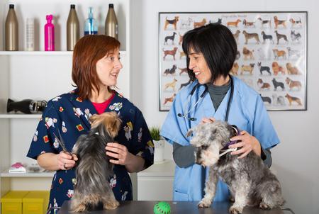 perro asustado: Veterinaria realización de un examen dos perros schnauzer Foto de archivo