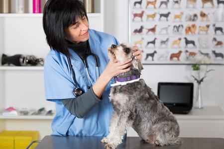 veterinaria: Veterinaria realizar una inspección dental para un Schnauzer min en clínica